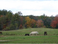 A herd enjoying the pasture in the fall.